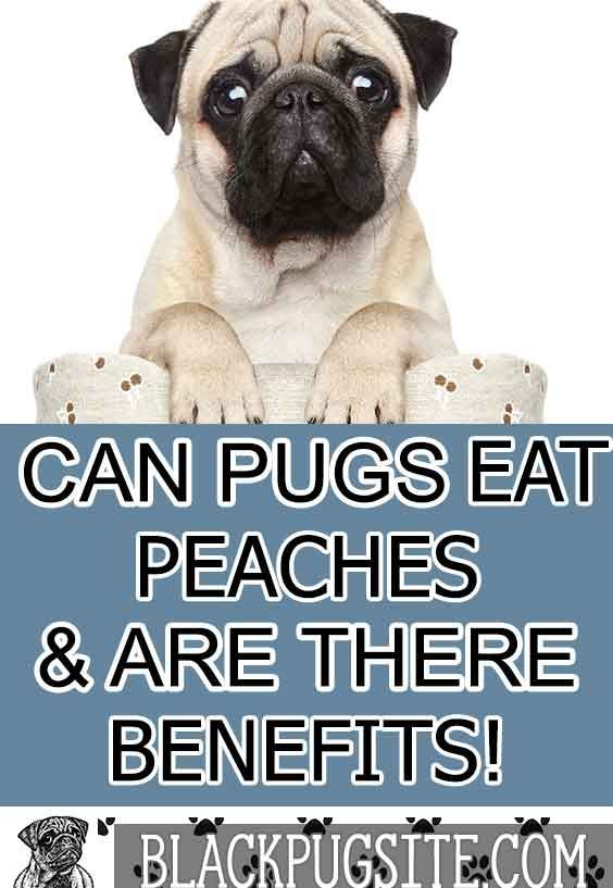 Can Pugs Eat Peaches Learn How To Properly Feed Your Pug Peaches