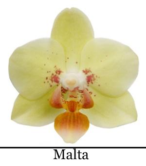 orchidee phalaenopsis malta little kolibri orchid. Black Bedroom Furniture Sets. Home Design Ideas