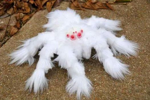 newly found albino spider in australia either that or a bird eating spider mated with a shitzu