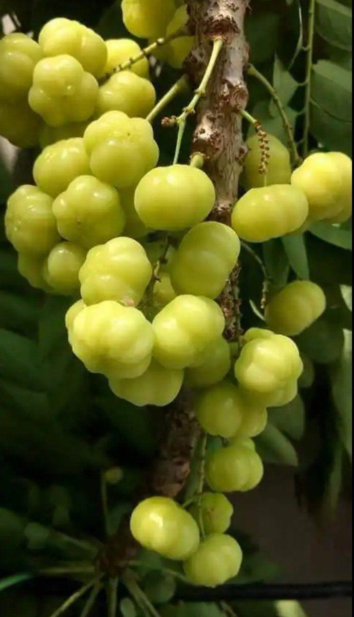 Pin Oleh Amondine Huang Di Garden Roanna S Pohon Buah Tanaman Buah