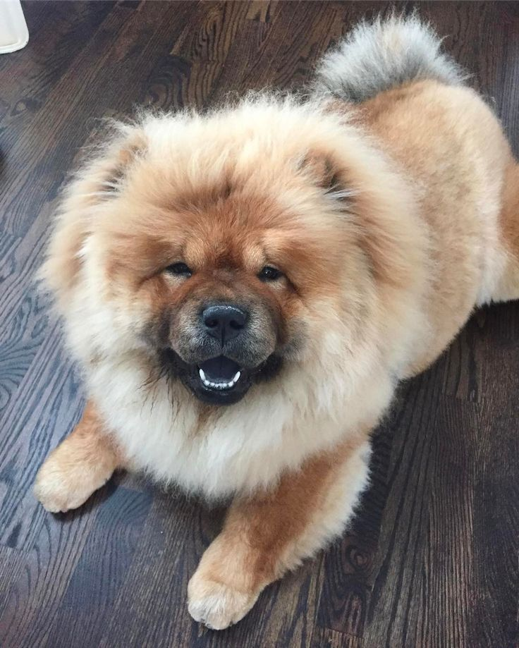 Best For CUTE Images On Pinterest Chow Chow Puppies - This instagram chow chow looks like a fluffy potato and its so cute it doesnt even look real