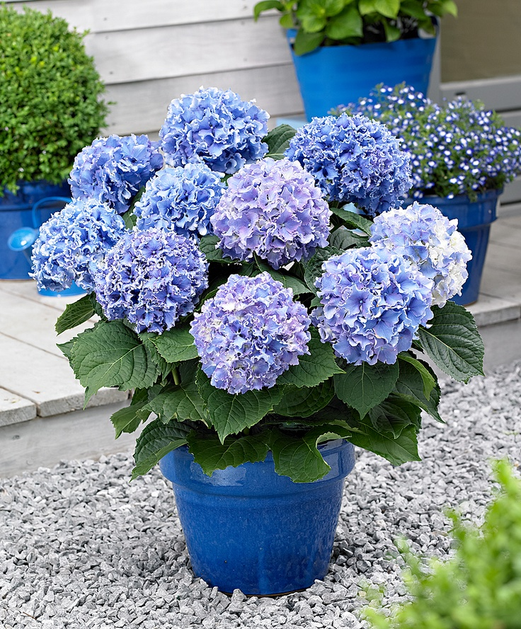 hydrangea macrophylla 39 spike blue 39 favorite places spaces pinterest beautiful blue and. Black Bedroom Furniture Sets. Home Design Ideas