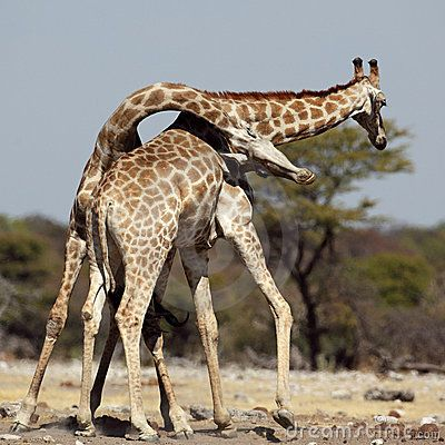Giraffe males fighting by Mogens Trolle, via Dreamstime