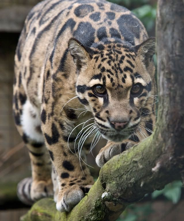 Jaguar Snarl: 1000+ Images About Panther On Pinterest