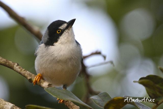 saíra-de-chapéu-preto (Nemosia pileata) | Flickr - Photo Sharing!: Photo Sharing