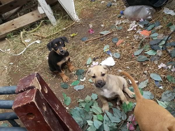 Craigslist Post: *URGENT - Pit Puppies - FREE* free puppys pit/mixed