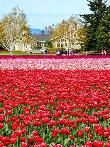 Skagit Valley Tulip Festival, Washington State USA