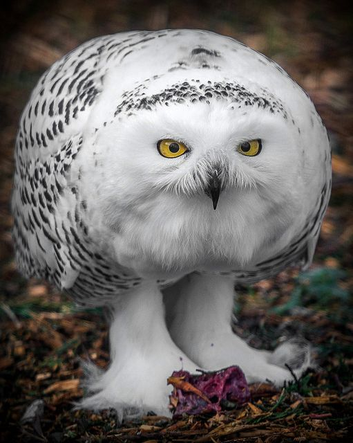 ~~Snowy owl by Digisnapper~~  Amazing animal.