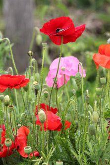 Rode en roze klaprozen, papavers. Prachtig!