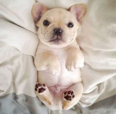 I want a little Frenchie so bad! They are soooo cute