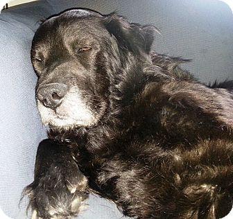 10/2016 sl♥♥♥Sleepy boy! Good with kids and dogs  ! 2/2016♥11/20sl***Transfer, PA - Labrador Retriever/Chow Chow Mix. Meet Elijah, a dog for adoption. http://www.adoptapet.com/pet/10822190-transfer-pennsylvania-labrador-retriever-mix