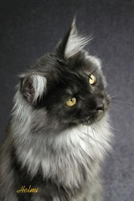 Black Maine Coon | QUIN -- Black Smoke Maine Coon Cat - photo copyright Helmi Flick