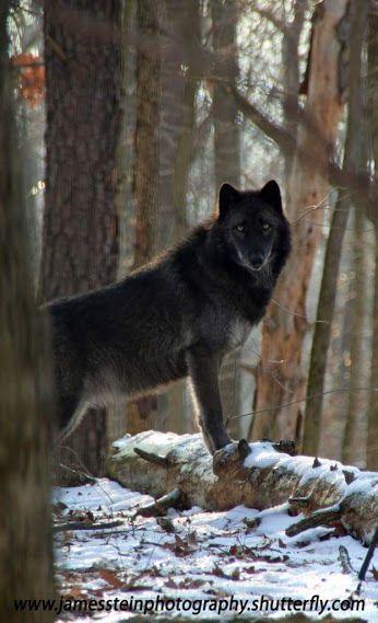 Wild Wolfs love - Community - Google+