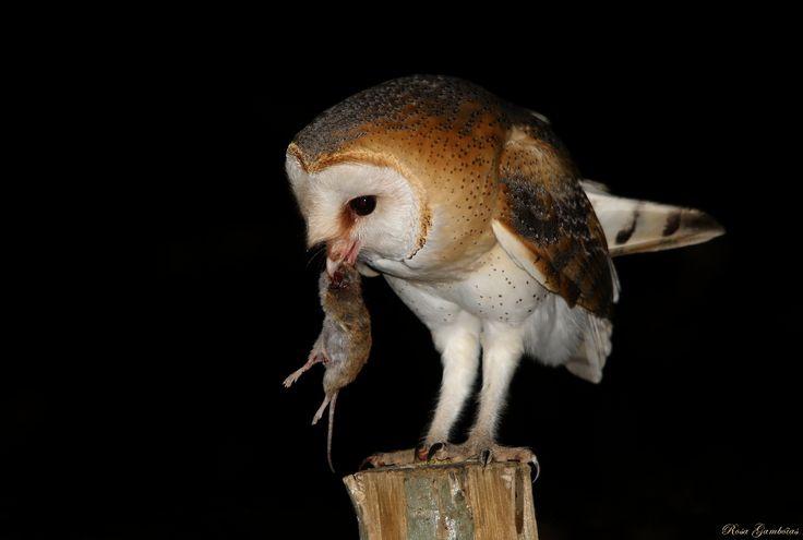 Coruja-das-torres   Barn Owl (Tyto alba)   by Rosa Gamboias