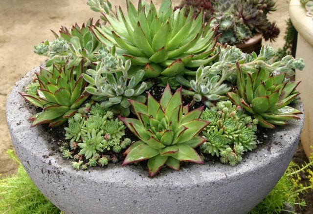 Why do the ladies all heart Echeveria? Because they remind us of roses. They look like plump-petaled roses in shades of pink, rose, lavender and green combinations. Try Lipstick Echeveria (Eceheveria agavoides 'Lipstick'). It's a show stealer with its pointy edges, glossy green leaves and crimson colored tips.