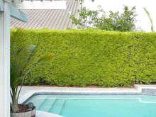 Best 25 Podocarpus Hedge Ideas On Pinterest Hedge Trees