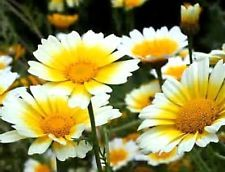 Garland Daisy 30 Seeds ( Chrysanthemum coronarium) Comb. S/H See our store!