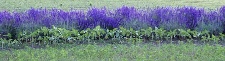 Lavender plant sales