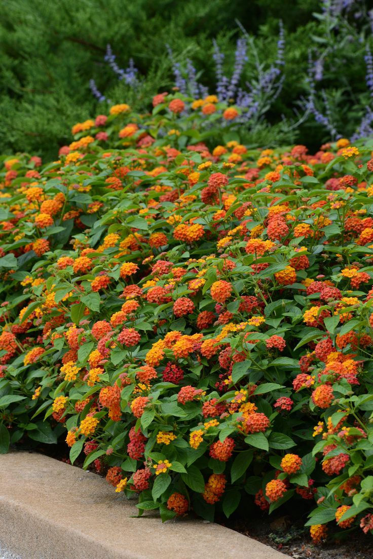 Lantana: Drought-tolerant annual that comes in many colors ranging from pure white to red to orange to peachy pinks. Bees and butterflies are attracted to this sturdy plant. Looks great draping out of pots and hanging baskets on its own or as part of a mixed container. Likes full sun.