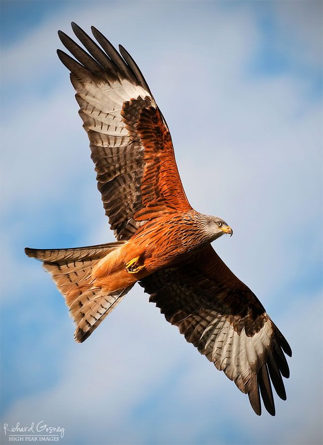"""""""Two hundred years ago, they commonly scavenged scraps from the backstreets of London. Now, thanks to reintroductions by farsighted conservationists, they are once more a familiar and striking sight across Britain. Few birds have experienced such a demographic rollercoaster. Red kites are well and truly back."""" 52 Wildlife Weekends www.bradtguides.com"""