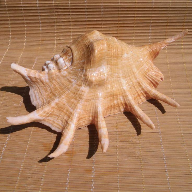 Sea shells natural craft large spider conchas seashell Mediterranean style wedding decoration aquarium Landscaping Decoration