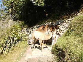 Red caminera del Tahuantinsuyu -Llamas rodeando los caminos del Inca.