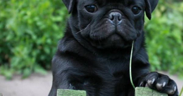Dogspuppiesforsalecom liked | Cute Black Pug Puppy Getting a dog or a puppy as a new addition to your family is an excellent decision! You're adding another member that can provide lots of love and enjoyment! This is a relationship you'd want to make sure that you're doing right the first time around. You'll need to find out what makes your dog happy what are the things to look out for and basically how to give them a long and fulfilling life. This is what dogs puppies for sale is for.