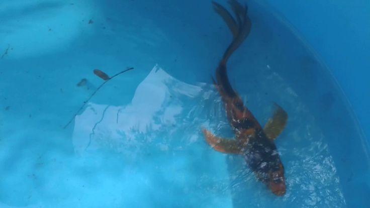 25 Best Ideas About Common Carp On Pinterest Koi Fish