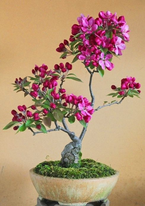 z- Bonsai Apple Tree