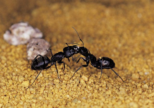 Black ants are more than a picnic nuisance. Worker ants leave the colony in search of food. A single one can enter your home, leaving behind a scent trail that hundreds of other...