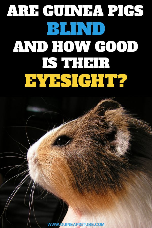 Pin On Guinea Pig Health Tips And Diseases