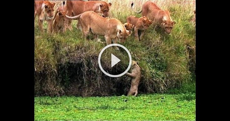 Lion Cub in Water - Family is Trying to save him. !