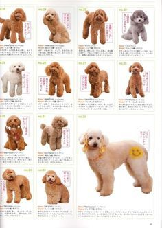 So Cute! Poodle Hair Cuts - mostly teddy bear styles …