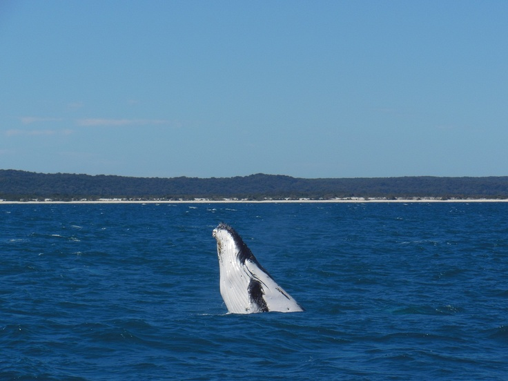 whales love hervey bay #thisisqueensland #whalewatching