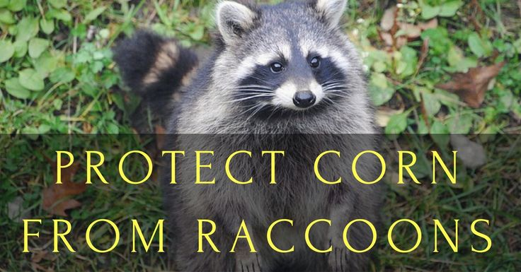Raccoons are crafty critters, but one thing they like to be able to do while eating is to stand up and look around occasionally. If they're breaking into your corn crop, you can take advantag…