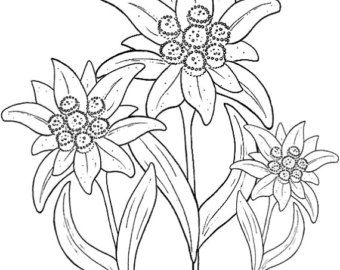 Edelweiss Printed Embroidery / Cross stitch Pattern on