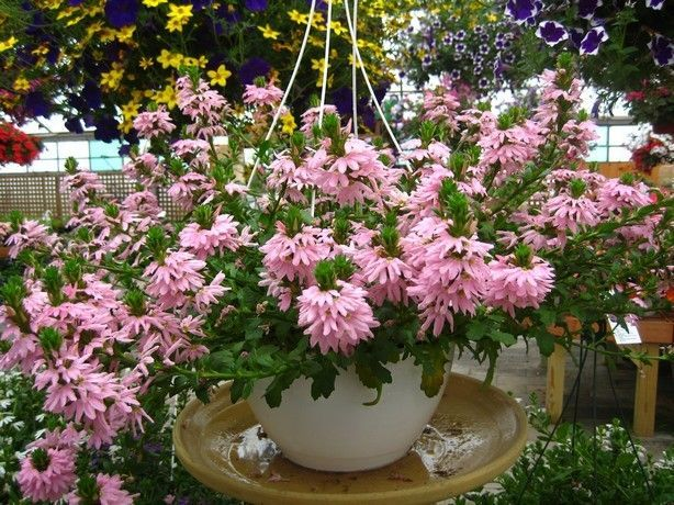 Pale pink scaevola loves hot, dry days