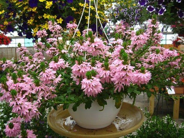 Pale pink scaevola loves hot, dry days