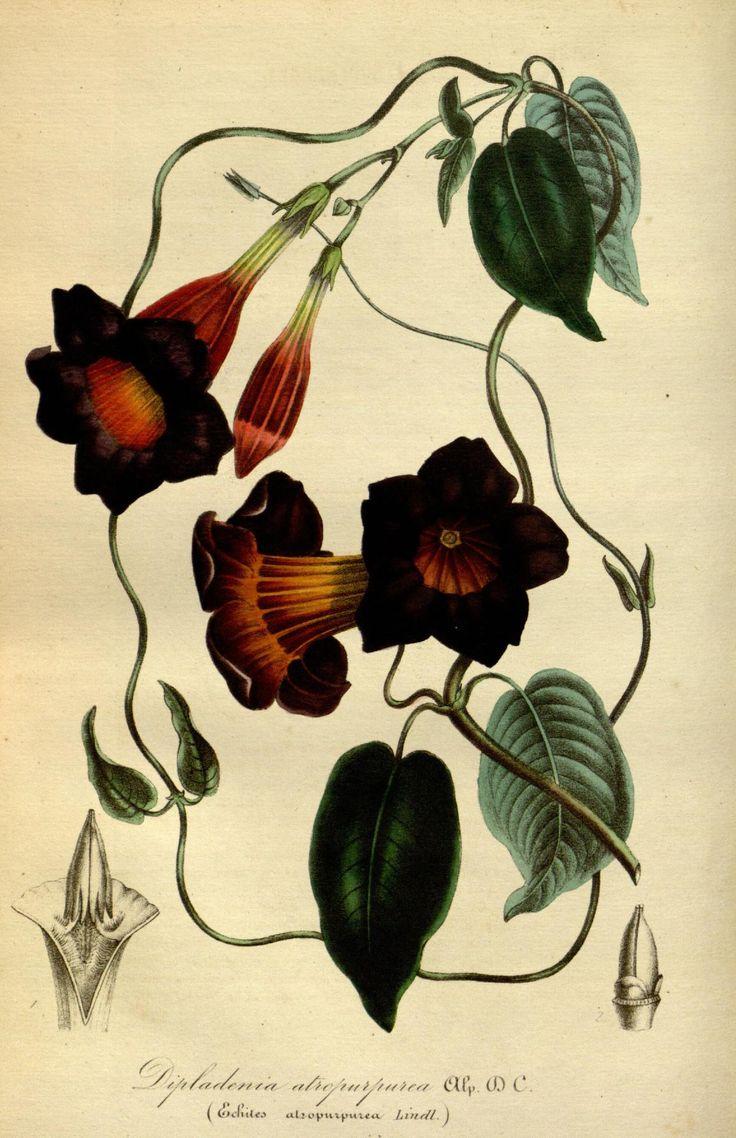 """Dipladenia atropururea, Alp.DC. (Echites atropurpurea, Lindl.) -- """"Flore des serres et des jardins de l'Europe"""" v.1 (1845), ed. by Louis van Houtte"""