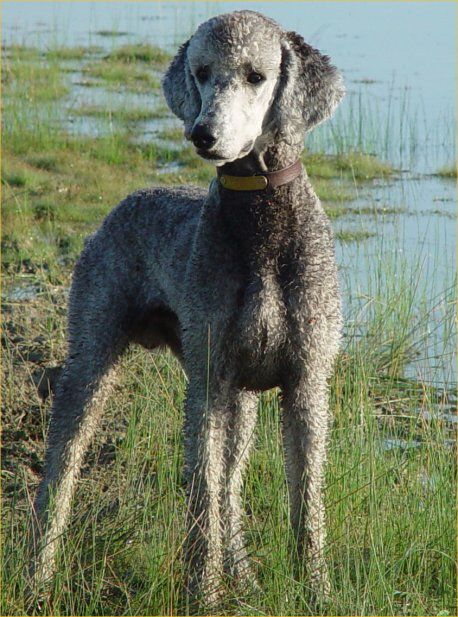 Low Maintanence Clips-young-beau.jpg Beau is a hunting poodle from Vermont.