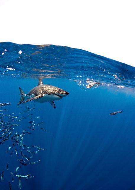 Great White Shark, Carcharodon carcharias, Over/Under | Flickr: Intercambio de fotos