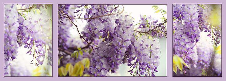 Beauty Of Wisteria. Purple. Triptych by Jenny Rainbow