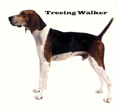 treeing walker couonhound photo | treeing walker coonhound gallery check out treeing walker coonhound ...
