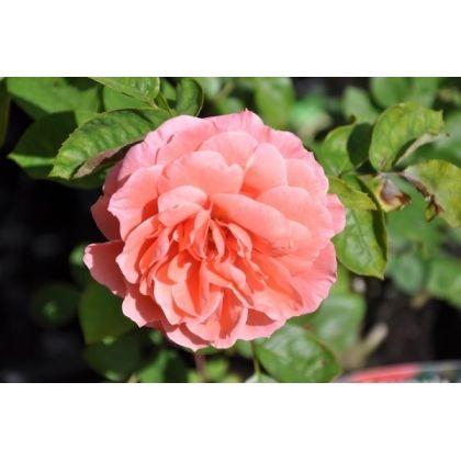 Rosier polyantha rose - Favorite