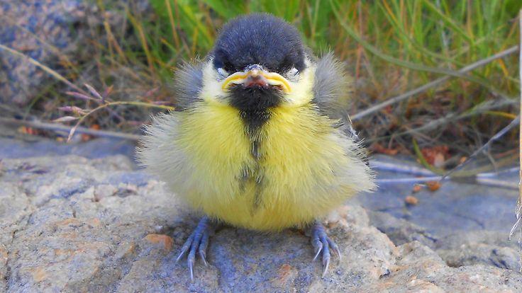 Meneehän se nokka mutrulle, jos lentäminen ei onnistu. Copyright: Katja Hänninen. Kuva: Katja Hänninen.