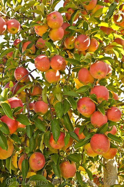 APPLE TREE DAY is on Jan 6th.