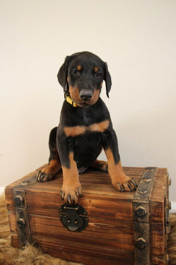 Discover The Powerful Doberman Puppies Personality Dobermansonly