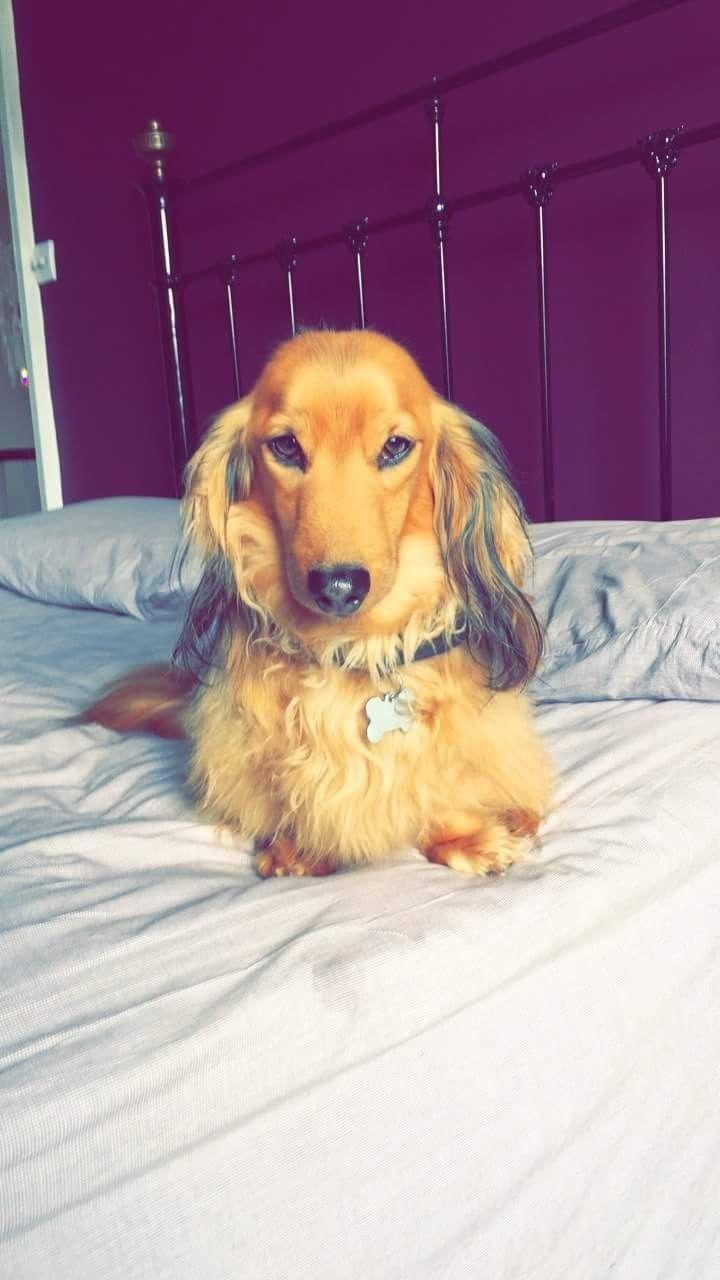 Beautiful Long Haired Dachshund Pup Daschund Puppies Long