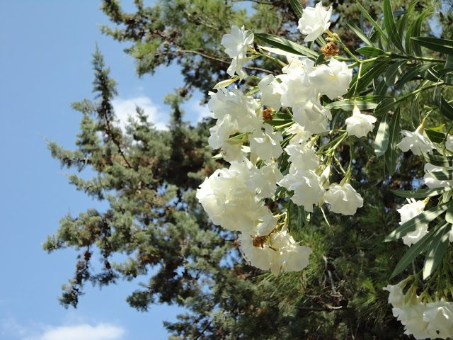 ZAKKUM  Nerium Oleander  Laurier-rose , La adelfa , Laurel de flor , trinitaria , baladre , oлeaндp. Oléandre , Nérion, Lauraine , Rosage .
