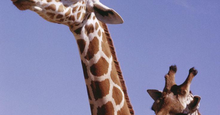 Mitos e lendas da girafa. Uma criatura fascinante e bela, a girafa tem sido admirada por pessoas e culturas de todo o mundo por suas características físicas únicas, sua raridade e sua natureza pacífica. Além de ser um animal visto raramente, os estudiosos do passado tinham dificuldade em explicar a origem e as características da girafa, e muitos mitos e lendas surgiram ...